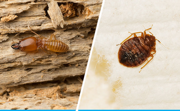 Bed Bug and Termites
